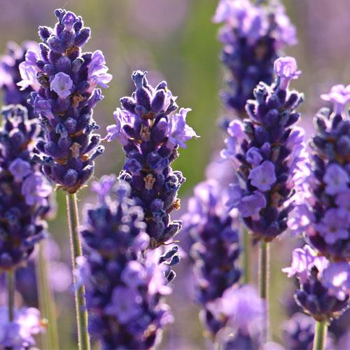 Lavendel, meer dan een lekker ruikende plant